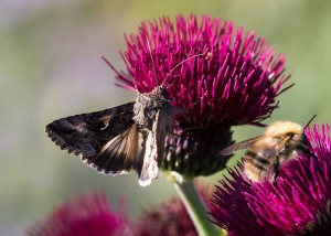 Moth on thistle_VR