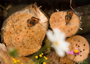 butterflies on logs October 2015_VR