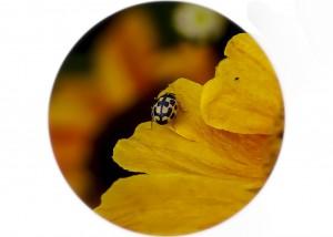 14 spot Ladybird__F5W8474