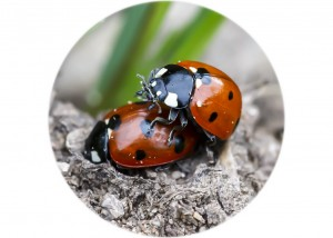 7 spot Ladybirds Mating__F5W3956