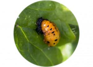 7 spot Ladybirds Pupa__F5W6304