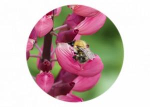 Carder Bumblebee__F5W4760