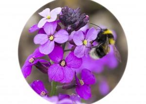 Garden Bumblebee__F5W5113