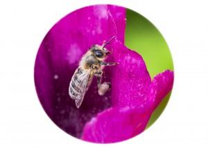 Honeybee__F5W5079