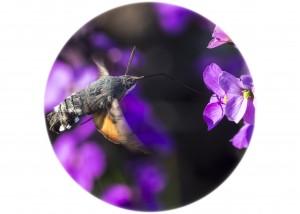 Hummingbird Hawk Moth_Silver Y Moth__F5W4011