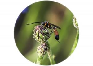 Ichneumon Wasp__F5W6357