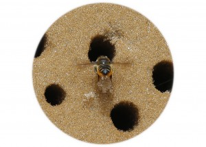 Leafcutter Bee__F5W6944