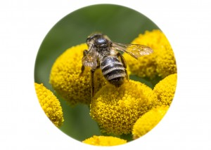 Mining Bee Andrena __F5W6979