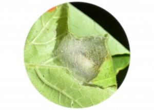 Moth larva webbing_051