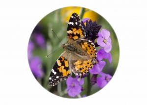 Painted Lady Butterfly__F5W8468-2