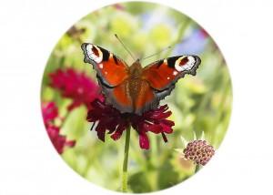 Peacock Butterfly__F5W7756