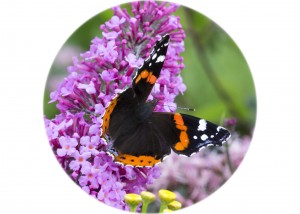 Red Admiral Butterfly__F5W8893