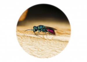 Ruby tail Wasp__F5W6979