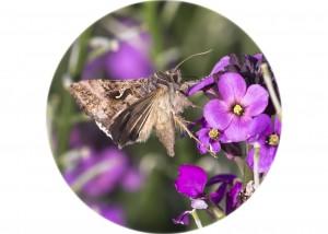 Silver Y Moth__F5W0354