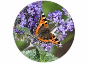 Tortoiseshell Butterfly__F5W6322