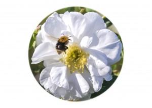 Tree Bumblebee__F5W3977
