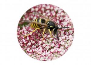 Tree Wasp__F5W7035 (2)